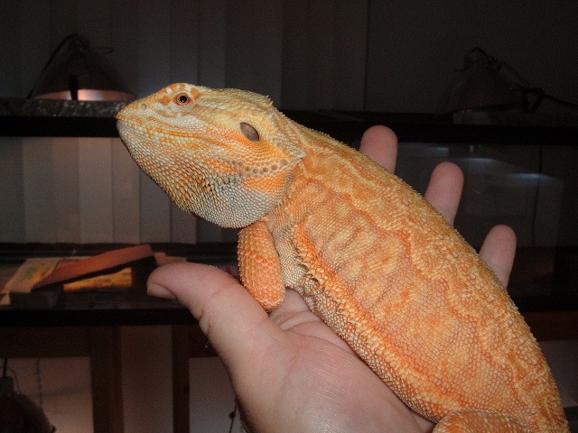 Advise you Adult bearded dragons for sale
