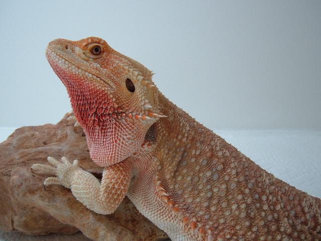 Midget Bearded Dragon