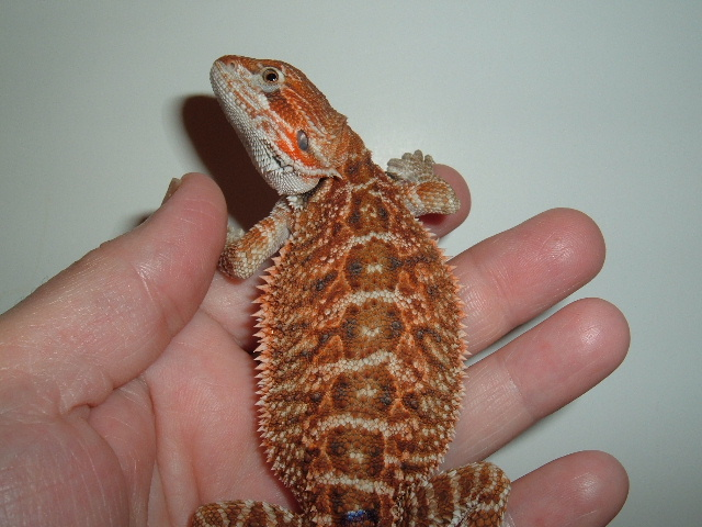 Rainbow Bearded Dragons - Purple Paradox siblings